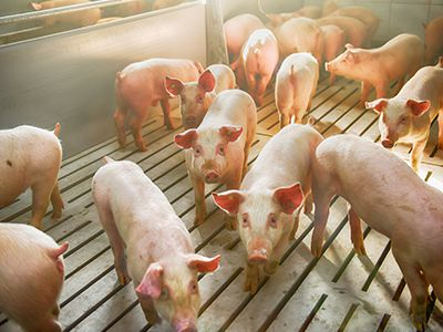 The Economic and Local Impacts of African Swine Fever Webinar